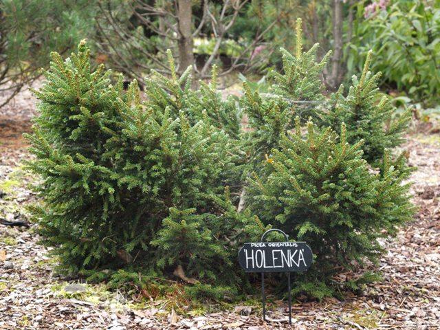 Picea orientalis 'Holenka'