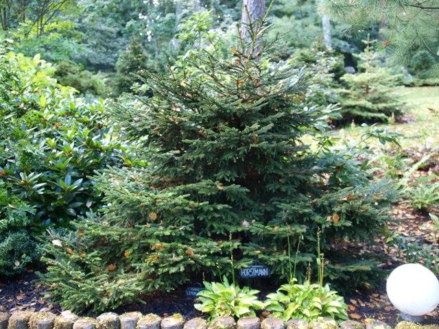 Picea orientalis 'Horstmann'