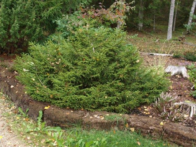 Picea orientalis 'Murphy'