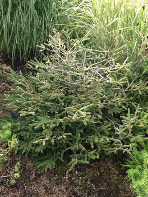 Picea orientalis 'Silver Seedling'