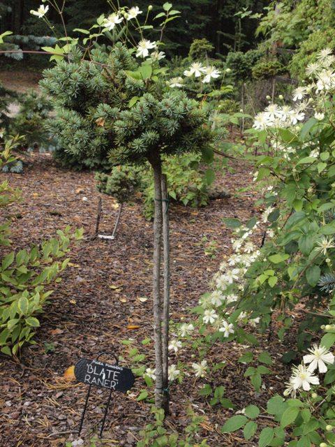 Picea pungens 'Blade Ranner'