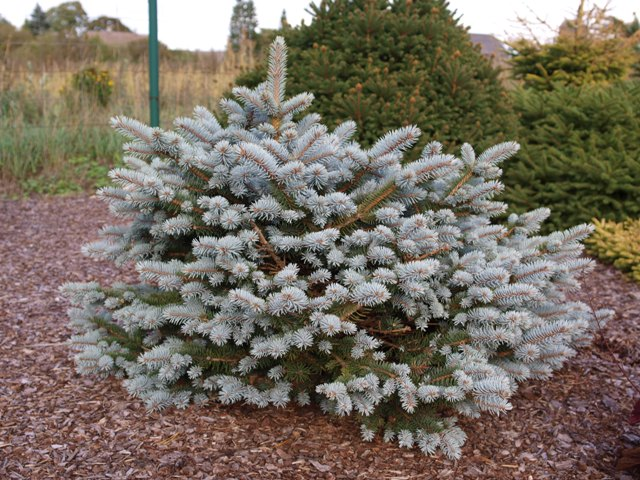 Picea pungens 'Chachmann'