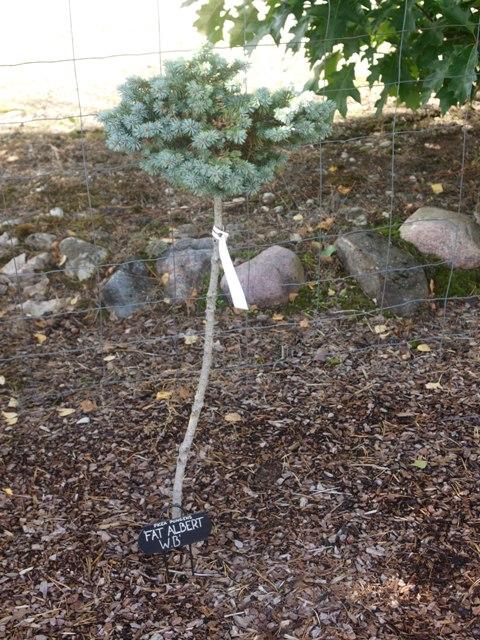 Picea pungens 'Fat Albert WB'