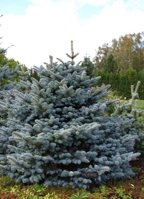 Picea pungens 'Hachmann'
