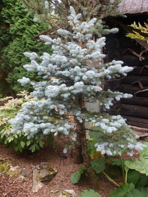 Picea pungens 'Jeddeloh'
