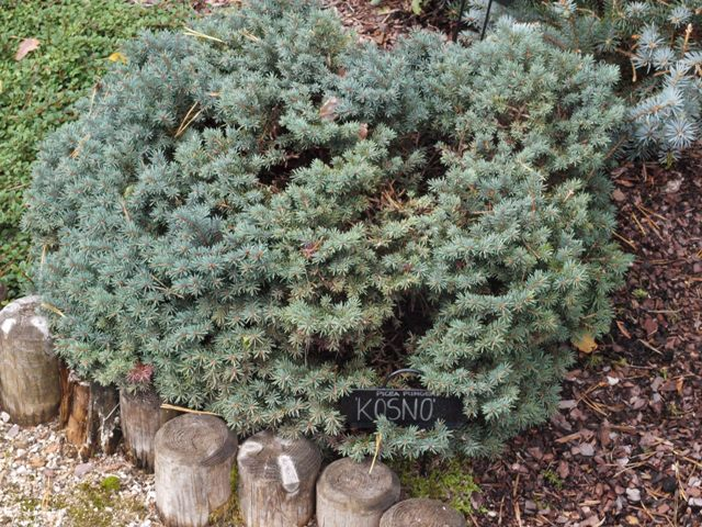 Picea pungens 'Kosno'