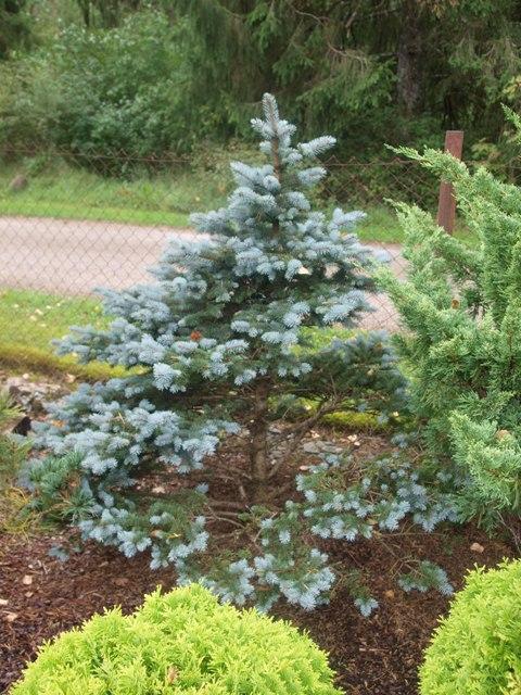 Picea pungens 'Krolewski'