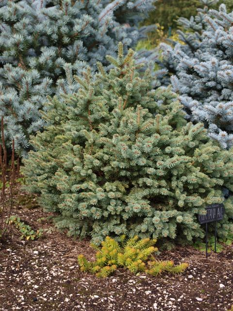 Picea pungens 'Montana Ave'