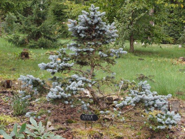 Picea pungens 'Nana'
