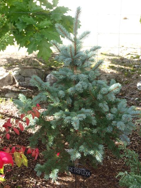 Picea pungens 'Retroflexa'