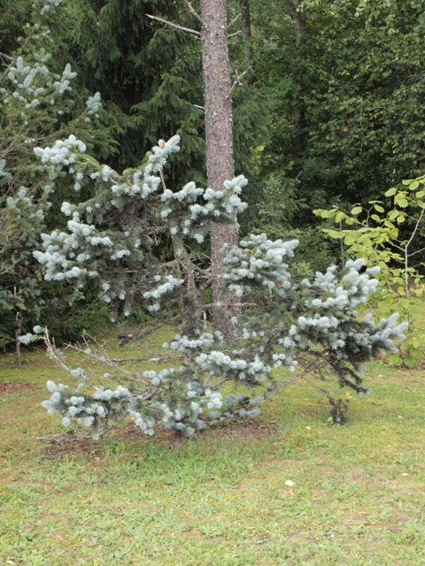 Picea pungens 'Schovenhorst'