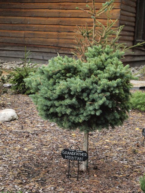Picea rubens 'Grandfather Mountain'