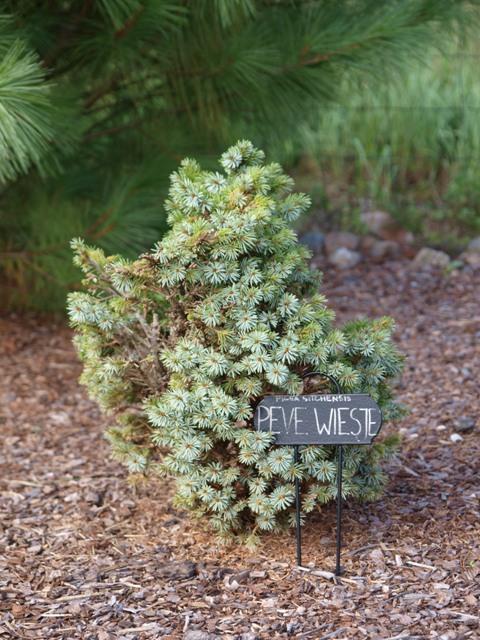 Picea sitchensis 'Pévé Wiesje'