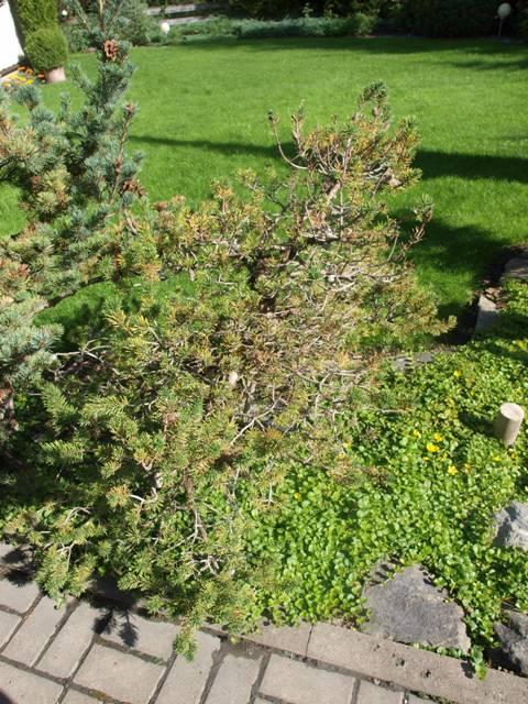 Pinus banksiana 'Repens'