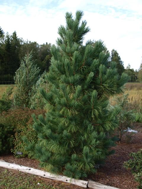 Pinus cembra 'Grobe'