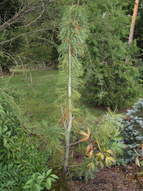 Pinus cembra 'Sartori'