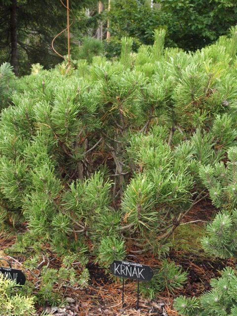 Pinus contorta 'Krnak'