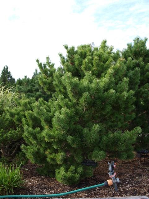 Pinus contorta x Pinus banksiana