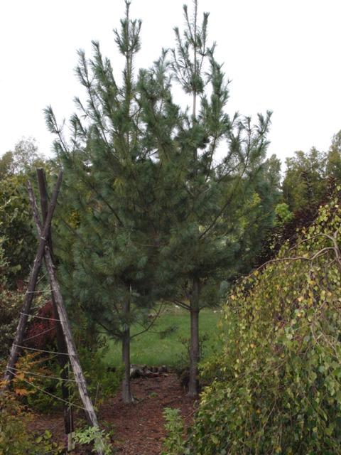 Pinus monticola 'Ammerland'