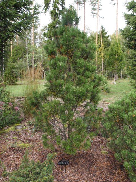Pinus mugo 'Alpenzwerg'