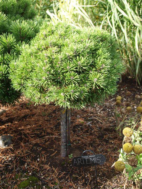 Pinus mugo 'Artemis'