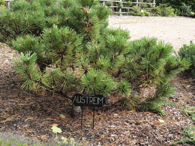Pinus mugo 'Austreim'