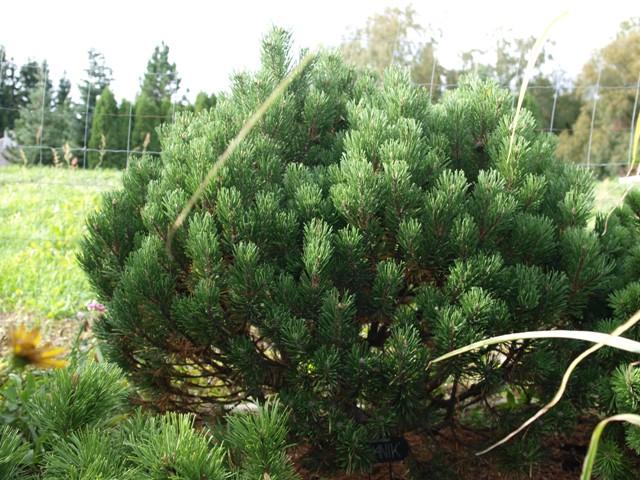 Pinus mugo 'Bochnik'