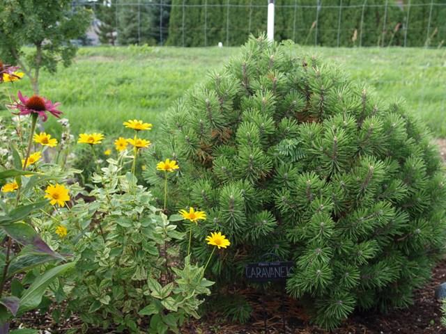 Pinus mugo 'Caravanek'