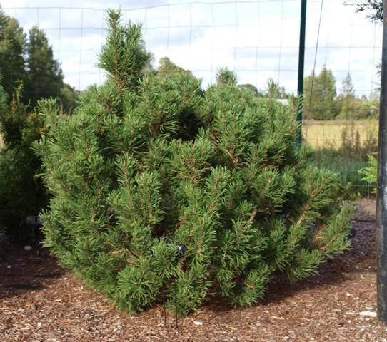 Pinus mugo 'Contorta'