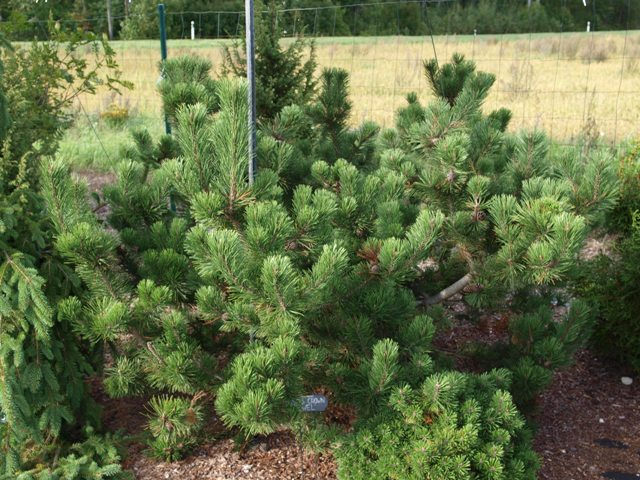 Pinus mugo 'Filip's Crown Yewel'