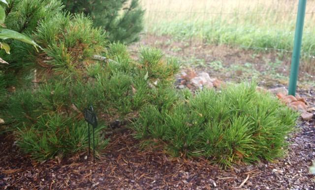 Pinus mugo 'Globosa'