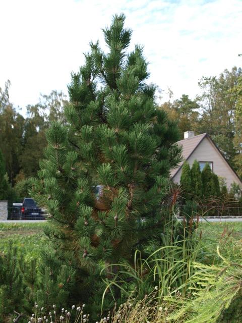 Pinus mugo 'Gnom Column'