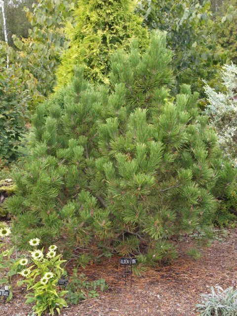 Pinus mugo 'Golden Globe'
