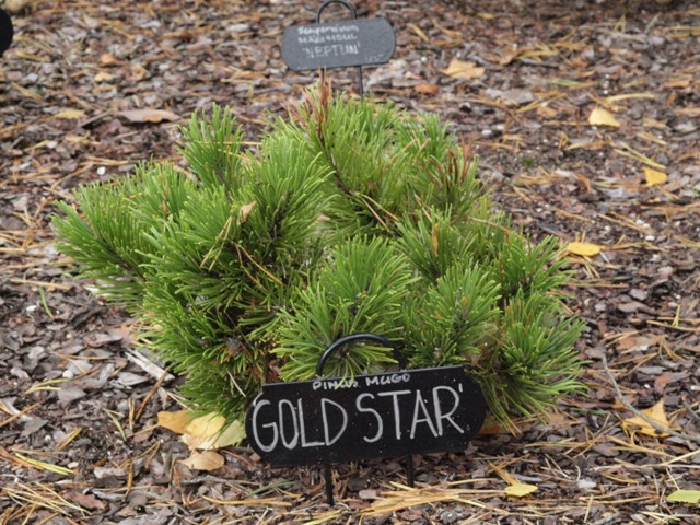Pinus mugo 'Gold Star'
