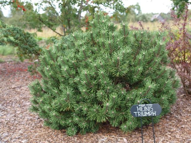 Pinus mugo 'Heinis Triumph'