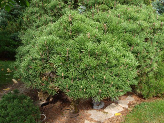Pinus mugo 'Humpitz'