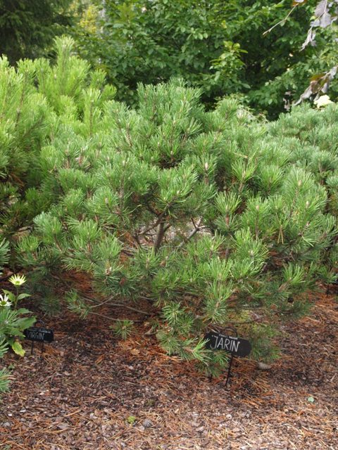 Pinus mugo 'Jarin (Troja 3)'
