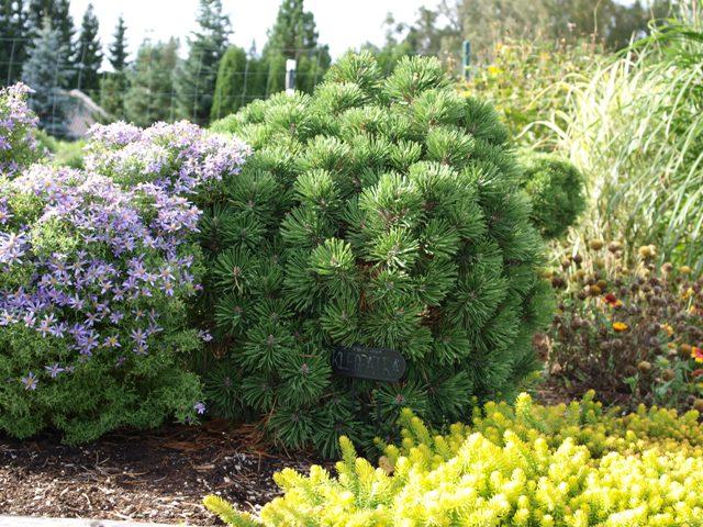 Pinus mugo 'Kleopatra'