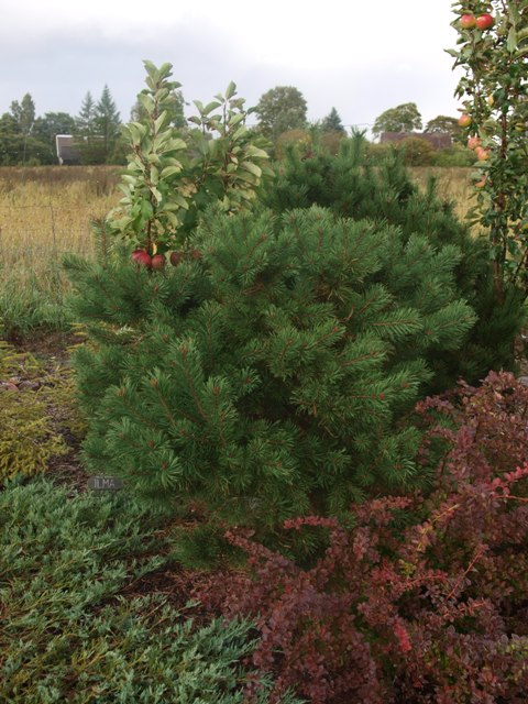 Pinus mugo 'Little Brany'