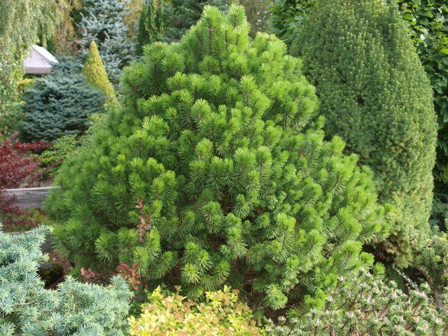 Pinus mugo 'Loucky'