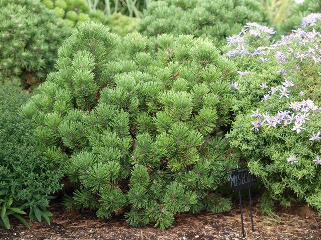 Pinus mugo 'Mops Blures'