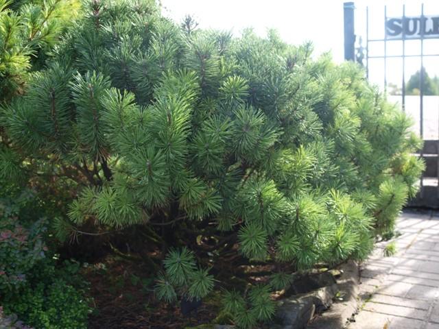 Pinus mugo 'Mops Midget'