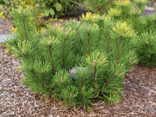 Pinus mugo 'Nana Balcanica Aurea'