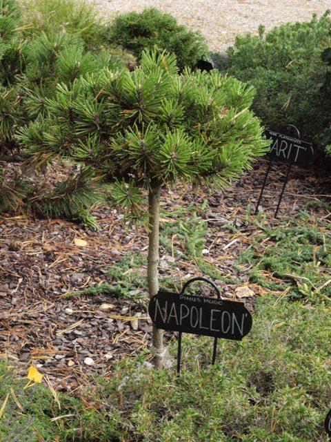 Pinus mugo 'Napoleon'