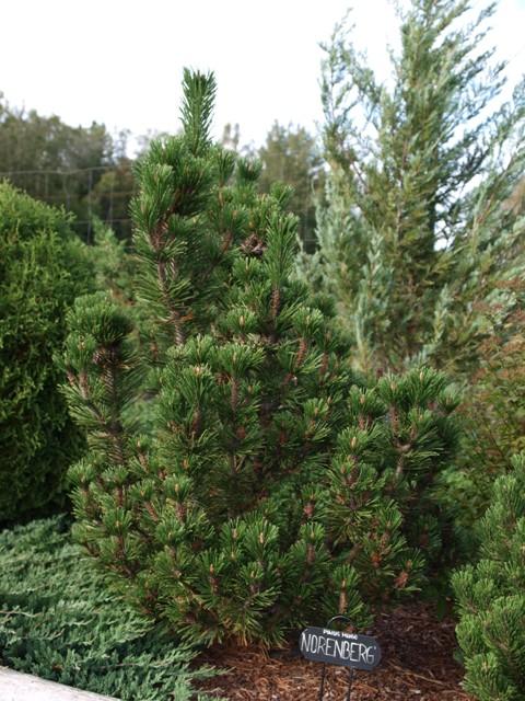 Pinus mugo 'Norenberg'