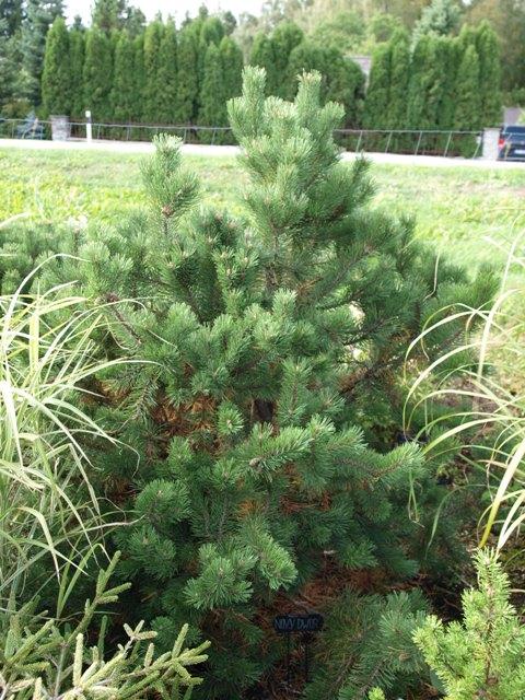 Pinus mugo 'Novy Dwor'