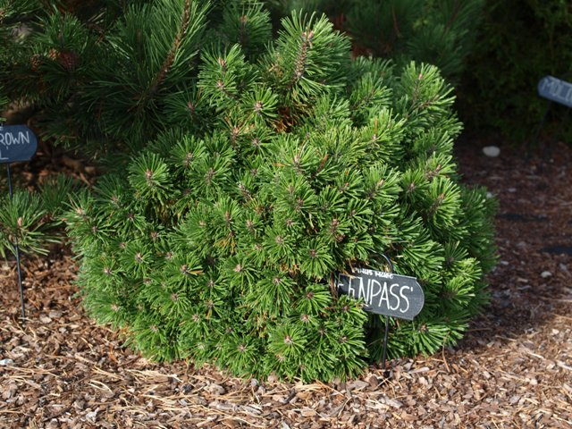 Pinus mugo 'Ofenpass'