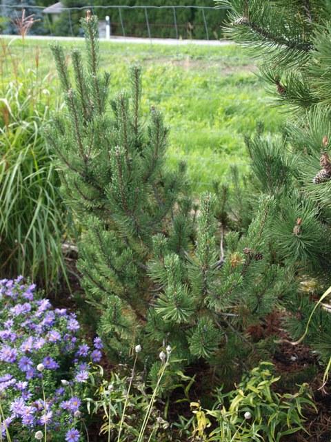Pinus mugo 'Silvia'