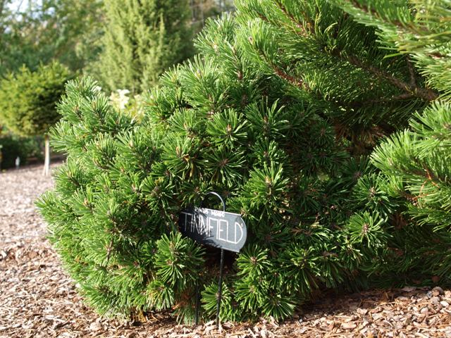 Pinus mugo 'Tinnfield'