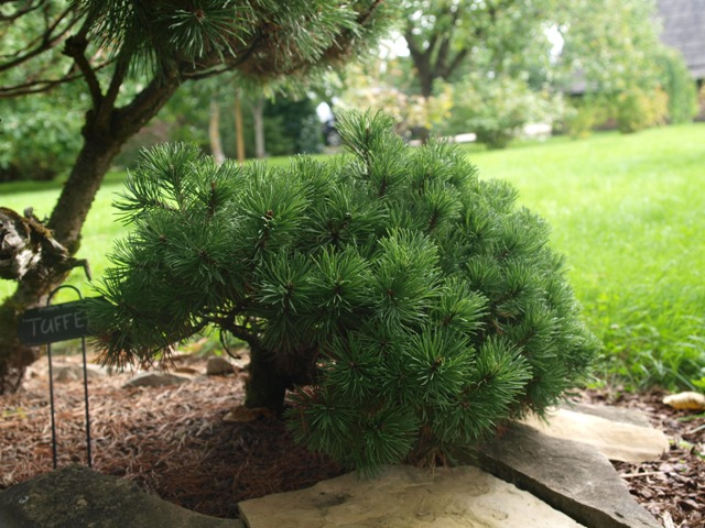 Pinus mugo 'Tuffet'